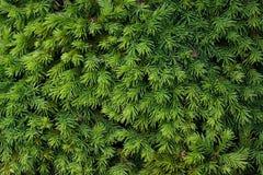 Arbusto conífero Imagenes de archivo