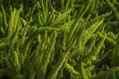 Arbusto conífero Imágenes de archivo libres de regalías