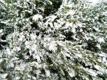 Arbusto conífero con una variedad de ramas y de nieve congeladas Imágenes de archivo libres de regalías