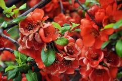 Arbusto con i fiori Fotografia Stock Libera da Diritti