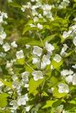 Arbusto con las flores blancas Imágenes de archivo libres de regalías
