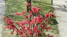 Arbusto con las flores rojas en la brisa
