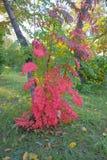 Arbusto con las hojas del rojo en Omsk fotografía de archivo libre de regalías