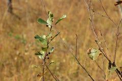 Arbusto con le bacche selvatiche nell'IBM Moorland in Austria settentrionale fotografia stock libera da diritti