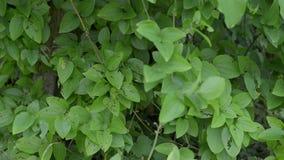 Arbusto con le foglie verdi stock footage