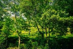 Arbusto con le piantagioni di tè ed albero sulla diramazione nel puncak bogor fotografia stock