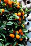 Arbusto con los mandarines Imagen de archivo libre de regalías