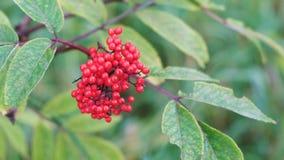 Arbusto con un manojo de bayas salvajes rojas almacen de video