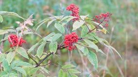 Arbusto con un manojo de bayas salvajes rojas almacen de metraje de vídeo