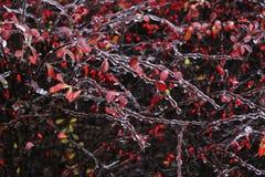 Arbusto congelado Imagens de Stock