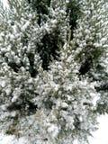 Arbusto conifero con vari rami e neve congelati Immagine Stock