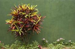 Arbusto contra una pared verde Imagen de archivo libre de regalías
