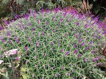 Arbusto contraste-púrpura de la flor Imagen de archivo libre de regalías