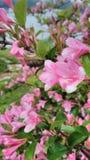 Arbusto cor-de-rosa Imagem de Stock