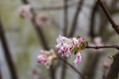 Arbusto cor-de-rosa Fotografia de Stock Royalty Free