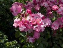 Arbusto cor-de-rosa de Angela Foto de Stock Royalty Free