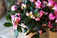 Arbusto cor-de-rosa da azálea no jardim Estação de azáleas de florescência Rododendro cor-de-rosa de florescência no jardim japon Foto de Stock Royalty Free