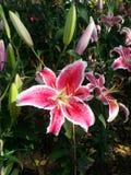 Arbusto cor-de-rosa da flor dos lírios Imagem de Stock Royalty Free