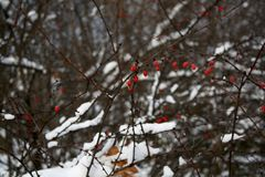 Arbusto cor-de-rosa do cão no inverno fotos de stock