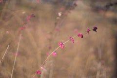 Arbusto cor-de-rosa do outono Fotografia de Stock Royalty Free