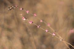 Arbusto cor-de-rosa do outono Imagens de Stock