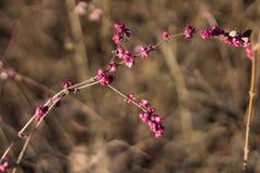 Arbusto cor-de-rosa do outono Fotos de Stock