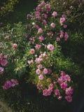Arbusto cor-de-rosa de florescência no jardim Imagens de Stock