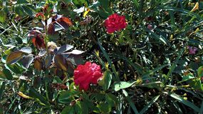 Arbusto cor-de-rosa inchado vermelho bonito foto de stock royalty free