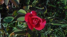 Arbusto cor-de-rosa inchado vermelho bonito foto de stock