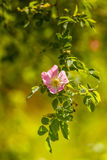 Arbusto cor-de-rosa selvagem bonito que floresce em um prado Foto de Stock Royalty Free