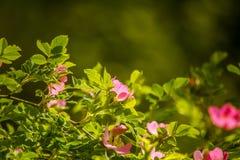 Arbusto cor-de-rosa selvagem bonito que floresce em um prado Imagens de Stock