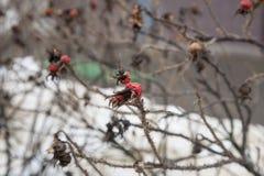 Arbusto cor-de-rosa selvagem na jarda do inverno Fotos de Stock