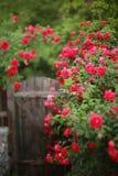 Arbusto cor-de-rosa vermelho, tiro borrado do inclinação-deslocamento, fotografia de stock