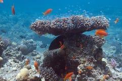 Arbusto coral Fotografia de Stock Royalty Free
