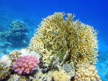 Arbusto coralino 1 Fotos de archivo libres de regalías