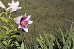 Arbusto crescente romântico dos lírios brancos com núcleo roxo fotos de stock royalty free