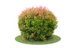 Arbusto da árvore da baga de pombo isolada sobre o branco Foto de Stock Royalty Free