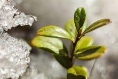 Arbusto da airela na neve thawing da mola Imagem de Stock