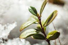 Arbusto da airela na neve thawing da mola Imagens de Stock Royalty Free