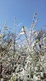 Arbusto da ameixoeira-brava foto de stock
