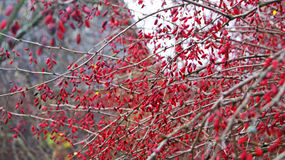 Arbusto da bérberis Fotografia de Stock Royalty Free