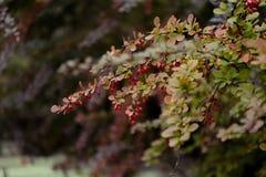 Arbusto da bérberis Imagem de Stock