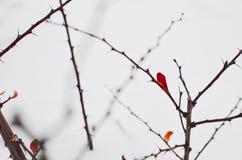 Arbusto da bérberis no inverno Foto de Stock