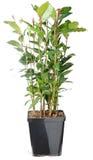 Arbusto da baía - nobilis do Laurus imagem de stock royalty free