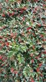 Arbusto da baga do azevinho Fotografia de Stock