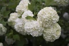Arbusto da bola de neve Imagens de Stock