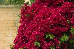 Arbusto da buganvília Imagens de Stock