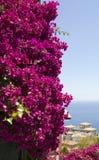 Arbusto da buganvília Imagens de Stock Royalty Free