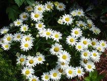Arbusto da flor da margarida Imagens de Stock
