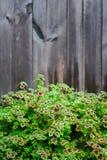 Arbusto da flor no fundo de madeira da textura Foto de Stock
